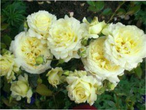 Elfe опис сорту троянд
