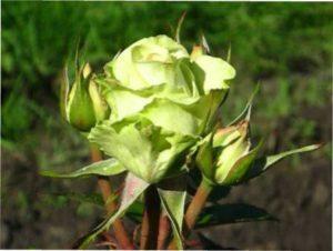 Троянда Green Tea характеристика