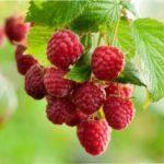 Як підготувати малину до зими і отримати урожай наступного року