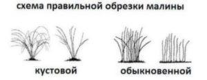 Схема правильної обрізки малини