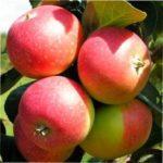 """Яблуня """"Олена"""" - найпопулярніший сорт яблук - опис та характеристика з фото"""