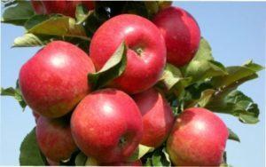 Сорти яблук з описом дерев