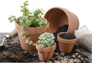 Як правильно пересаджувати кімнатні рослини за місячним календарем