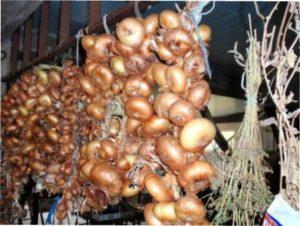 Особливості збирання врожаю цибулі