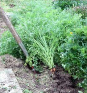 Викопування моркви