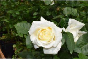 Роза Білий шоколад