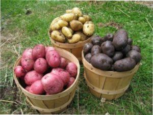 Як правильно відібрати, підготувати і зберігати насіннєву картоплю на дачі