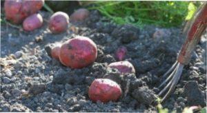 Викопування бульб картоплі