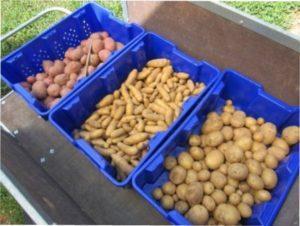 Готуємо насіннєву картоплю до зберігання