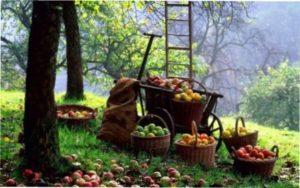 Як правильно зібрати і зберегти врожай яблук