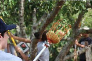 Збір яблук плодозбірником