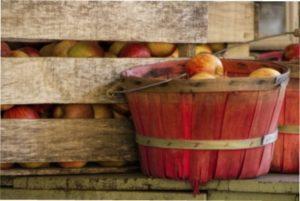 Зберігання врожаю яблук в грунті
