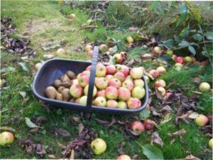 Роботи в плодовому саду восени фото