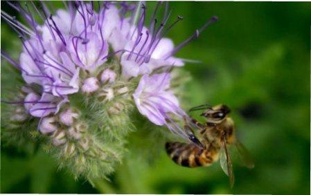 Кращі однорічні рослини-медоноси для вашого саду та городу