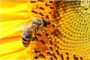Соняшник - зернові медоноси фото.