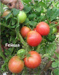 Гейша сорт помідорів