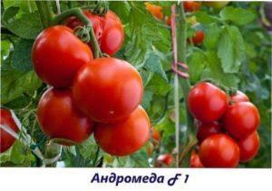 Андромеда урожай помідорів