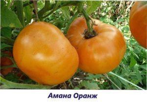 Амана оранж найбільший урожай помідорів