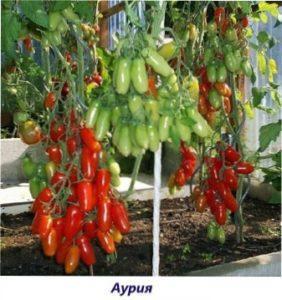 Аурія урожай томатів