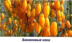 Бананові ноги урожай томатів