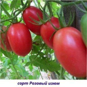 Рожевий ізюм урожай томатів