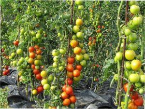 Врожайні сорти помідорів для відкритого грунту