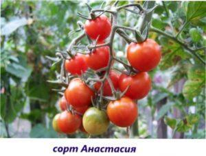 Салатні сорти томатів для вирощування у відкритому грунті