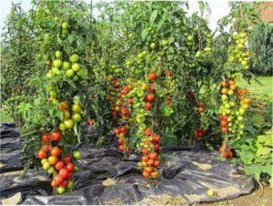 Критерії вибору сорту помідорів