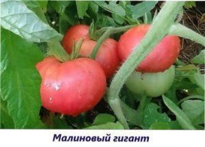 Малиновий гігант томат