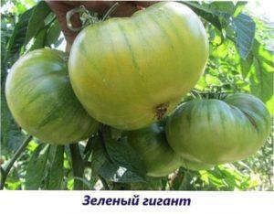 Гігант зелений томат