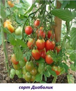 Салатні сорти томатів Діаболік
