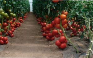 Самі врожайні сорти томатів для відкритого грунту