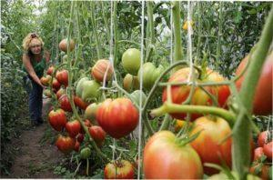 Насіння томатів - самі врожайні сорти для відкритого грунту