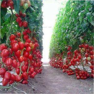 Самі врожайні сорти томатів