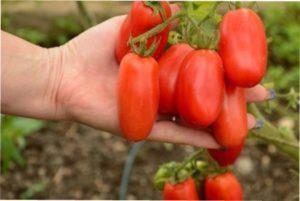 кращі сорти помідорів