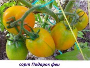 Врожайні салатні сорти томатів для теплиці