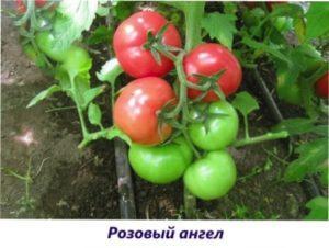 Рожевий янгол урожай помідорів