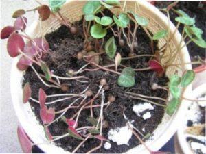 Як розмножити цикламен насінням - фото.
