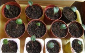 Розмноження цикламену листям - фото.