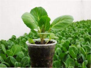 Коли садити ранню капусту на розсаду