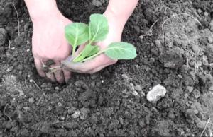 Сприятливі і несприятливі дні для висадкии розсади капусти за місячним календарем