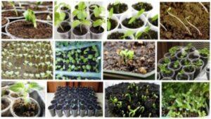 Огірки: посадка й догляд у відкритому ґрунті
