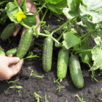 Коли сіяти огірки на розсаду в 2020 році в домашніх умовах: терміни посадки