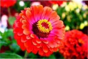 Ціннія - красива , однорічна квітка фото.