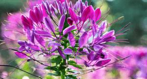 Клеома - однорічна квітка