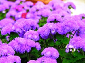 Агератум - однорічна квітка
