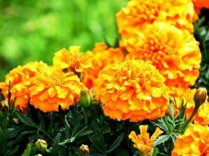 Чорнобривці - квітка