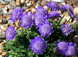 Скабіоза - однорічна квітка фото.