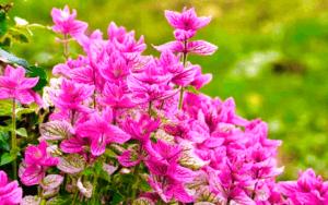 Сальвія блискуча - важливий представник однорічної квітки