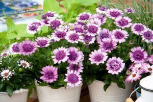 Остеоспермум - однорічна квітка